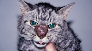 Pathologies respiratoires chez le chat